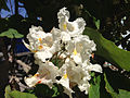 2014-06-12 10 45 44 Catalpa speciosa flowers in Winnemucca, Nevada.JPG