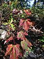 2014-08-25 17 58 13 Early fall coloration in Red Maple foliage along the Appalachian Trail about 9.3 miles northeast of the Delaware Water Gap in Delaware Water Gap National Recreation Area, New Jersey.JPG