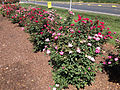 2014-08-29 14 37 13 Rose bushes along U.S. Route 206 in Springfield Township, New Jersey.JPG