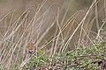20140403 048 Kessel Weerdbeemden vogeltje (13609364523).jpg