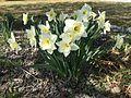 2015-03-31 10 25 05 White daffodils along Idaho Street (Interstate 80 Business) in Elko, Nevada.JPG