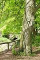 2015-05 ND Fiederblättrige Rotbuche Essen-Fulerum 01.jpg