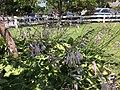 2015-07-20 12 19 59 Hosta flowers along Terrace Boulevard in Ewing, New Jersey.jpg
