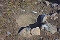 2015-12-28 192559 Scuas nest IMG 0767.jpg