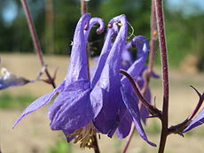 20150604Aquilegia vulgaris2.jpg