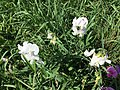 2016-08-23 16 14 56 White flowers growing wild at the intersection of U.S. Route 17, U.S. Route 50, U.S. Route 522 (Millwood Pike) and Interstate 81 just southeast of Winchester in Frederick County, Virginia.jpg