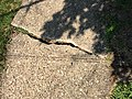 2017-09-05 10 53 35 Large crack in very old concrete sidewalk along Theresa Street in Ewing Township, Mercer County, New Jersey.jpg