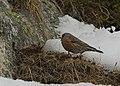 2017.01.27.-05-Paradiski-La Plagne-Champagny-en-Vanoise--Alpenbraunelle.jpg