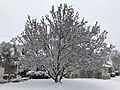 2018-03-21 09 40 52 A snow-covered Saucer Magnolia along Ladybank Lane (Virginia State Route 6470) in the Chantilly Highlands section of Oak Hill, Fairfax County, Virginia.jpg