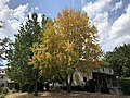 2019-08-04 12 47 15 A Red Maple with yellowing foliage during a dry spell along Flintwood Place in the Franklin Farm section of Oak Hill, Fairfax County, Virginia.jpg