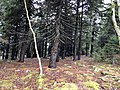 2019-10-27 12 04 38 View through the understory of a Red Spruce grove from the Whispering Spruce Trail just southwest of Spruce Knob in Pendleton County, West Virginia.jpg