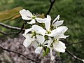 2021-04-10 19 04 16 Serviceberry blossoms along Kinross Circle in the Chantilly Highlands section of Oak Hill, Fairfax County, Virginia.jpg