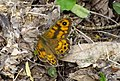 21-05-2017 Wall Brown butterfly.jpg