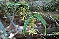 2 Sarcochilus parviflorus flowering.jpg