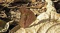 301眼紋擬蛺蝶4(林麗娟攝) (12944411585).jpg