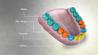 Molar (tooth) - Image showing molar teeth and their arrangement in the mouth of an adult human being