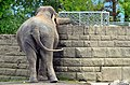 50 Jahre Knie's Kinderzoo - Elephas maximus 2012-10-03 16-06-55.JPG