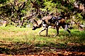AFRICAN WILD DOG (14050030452).jpg