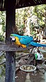 A Blue and yellow macaw at the Durban Bird Park.jpg