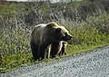 A grizzly alongside the Denali Park Road, her young cub peeping out from behind her (e716eee3-14fc-4f3b-b935-155c5c9c18a6).jpg