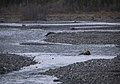 A grizzly bear takes a dip in the Teklanika River during the first day of Road Lottery on Sept. 13, 2019. (7fb74359-8dcd-4cad-8b96-8e77789c0cc5).JPG