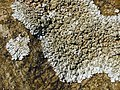 A lichen - Physcia caesia - geograph.org.uk - 1068085.jpg
