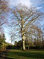 A mature tree in Hazlehead Park - geograph.org.uk - 1590318.jpg