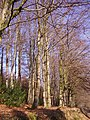 A stand of beech trees - geograph.org.uk - 693428.jpg