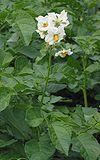 Aardappel bloeiend Fresco.jpg
