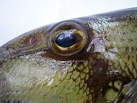 Abalistes filamentosus JNC2724 Eye.JPG