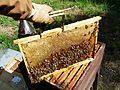Abeilles et ruches 06.JPG