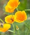 Abeja (Lasioglossum calceatum) en una Amapola de California (Eschscholzia californica), Jardín Botánico, Múnich, Alemania, 2013-09-08, DD 01.JPG