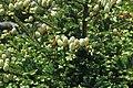 Abies fraseri (Fraser fir) (Clingmans Dome, Great Smoky Mountains, North Carolina, USA) 7 (37014876055).jpg