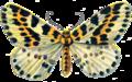 Abraxas Grossulariata.PNG