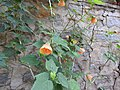Abutilon hybridum apricot-3-yercaud-salem-India.jpg