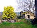 Acacia dealbata tree 1.jpg