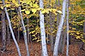 Acadia National Park, deciduous forest in autumn.jpg