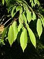 Acer carpinifolium.jpg