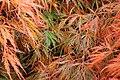 Acer palmatum fall foliage 03.jpg