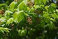 Acer pseudosieboldianum flowers.jpg