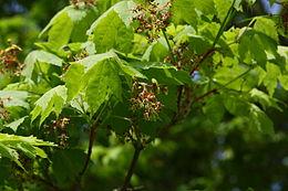 Acer pseudosieboldianum flowers