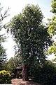Acer saccharinum 17zz.jpg