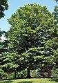 Acer saccharum (sugar maple) 8 (45605835044).jpg