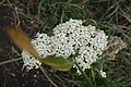 Achilea sp. Asteraceae 04.jpg