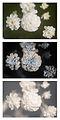 Achillea ptarmica 'The pearl' UV Vis IR comparison.jpg