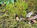 Acis autumnalis bud3.jpg