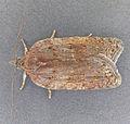 Acleris sparsana, Trawscoed, North Wales, Aug 2009 (19676002162).jpg