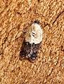 Acleris variegana (43959440835).jpg