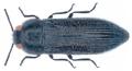 Acmaeodera crinita Spinola, 1838.png