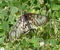 Acraea andromacha 2.jpg
